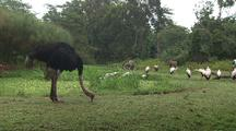 Ostrich Forages Near Other Birds, Possibly Yellow-Billed Storks And Ibises