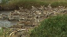 Zebra Herd Exits River, Runs