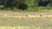 Lion Chases Warthog