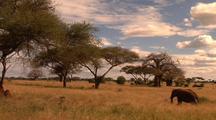 Elephant Walks Through Dry Grass