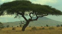 Lions Rest On And Under Acacia Tree