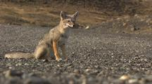 South American Fox