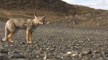 South American Fox Sits Down