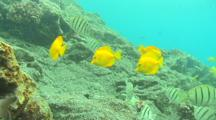 Yellow Tangs And Convict Surgeon Fish