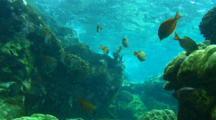 School Of Surgeon Fish On Reef