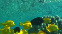 Yellow Tangs And Blackstreak Surgeon Fish