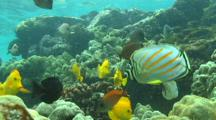 Yellow Tangs, Ornate Butterfly Fish, And Surgeon Fish