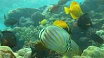 Ornate Butterfly Fish, Tangs And Surgeon Fish