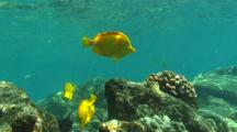 Yellow Tangs And Orange Band Surgeon Fish