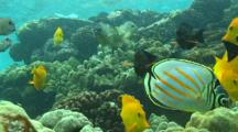 Yellow Tangs And Other Reef Fish