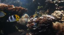 Reef Fish In Coral