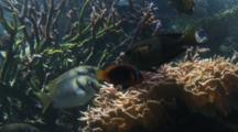 Barred Rabbit Fish And Other Reef Fish