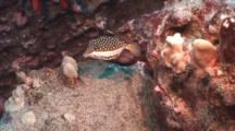 Whitley's Box Fish Next To Red Sea Urchin