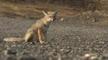 South American Fox In Wind