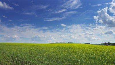 beautiful flowering rapeseed field under blue sky, timelapse 4k