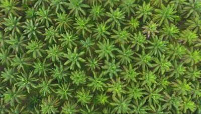 aerial rotate view on plantation of palm trees, background 4k