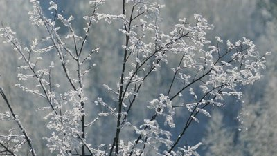 Branch of a tree covered with frost on a frosty day, background 4k