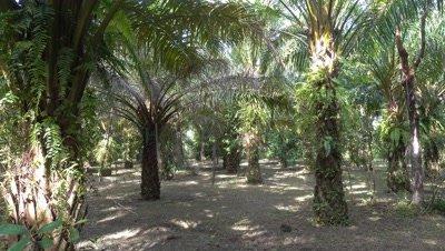 View inside a coconut palm grove, 4k