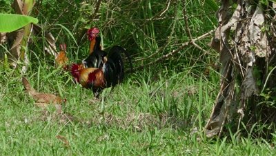 Roosters walking among green grass in Thailand, 4k