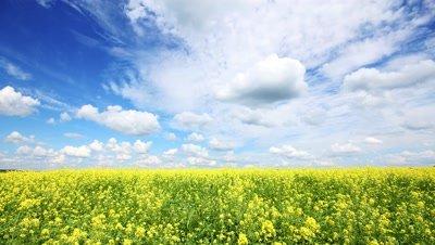 beautiful flowering rapeseed field under blue sky - timelapse, 4k