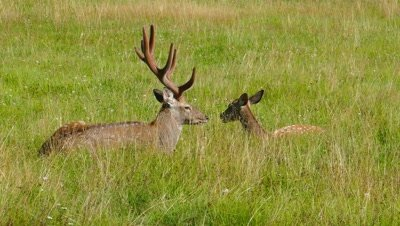 Male and female sika deer lying in the grass, 4k