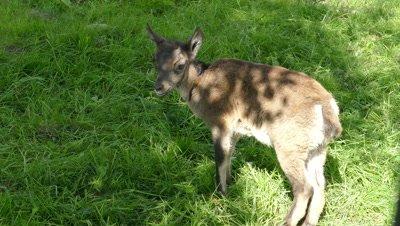 goat kid on grass