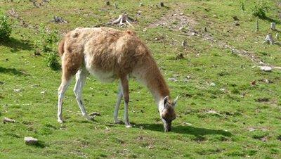 Lama guanaco grazing on meadow