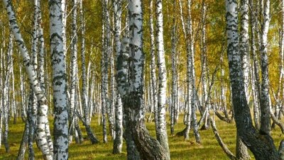 autumn birch forest, 4k