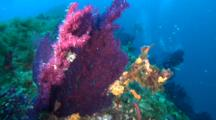 Travel Over Reef To Purple Sea Fan, Diver In Background