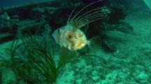 John Dory Swims Over Sea Grass, Diver Watches