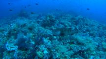 Brown Marbled Grouper Swimming Over Vivid Reef