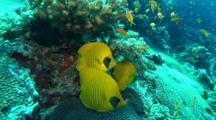 Bluecheek Butterflyfish Under Coral Block
