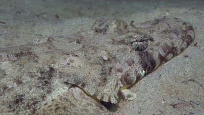 Crocodilefish breathing, close up