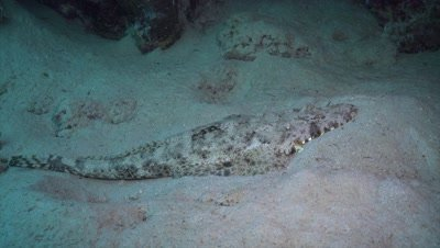 Crocodilefish resting on sandy bottom and breathing