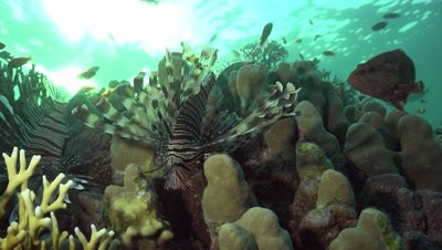 Two lion fish looking for prey on coral block