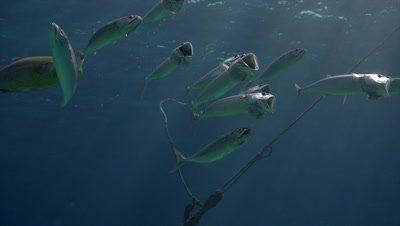 Group of mackerels feeding