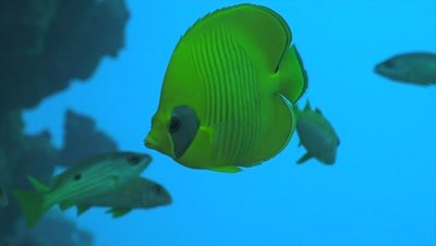 Bluecheek butterflyfish close up