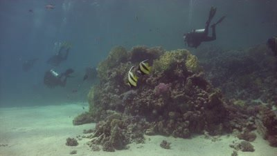 Pair of moorish idols on coral reef with divers in the background