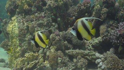 Pair of moorish idols swimming along coral reef
