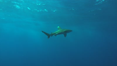 Oceanic whitetip shark swimming in blue water