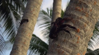 Coconut crab climbing up palm tree