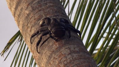 Coconut crab climbing up palm tree