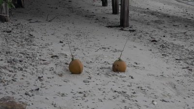 Coconut falling on sandy beach