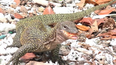 Large lizard looking for and finding food