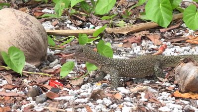 Large lizard looking for and finding food wide shot