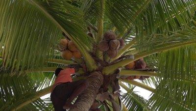 local succeeding in climbing coconut palm tree