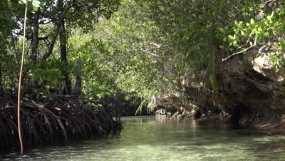 Paddling through mangroves on kayak POV