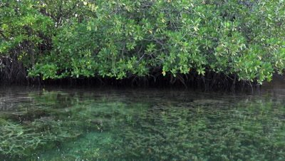 Pan through mangroves on kayak with corals right under the surface POV