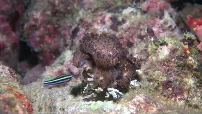 Decorator crab moving along coral reef by night