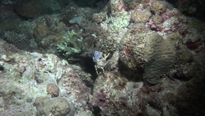 Decorator crab moving over coral block at night